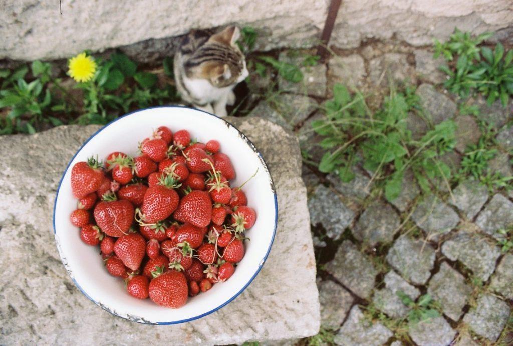 Erdbeeren Hofkater Ivan