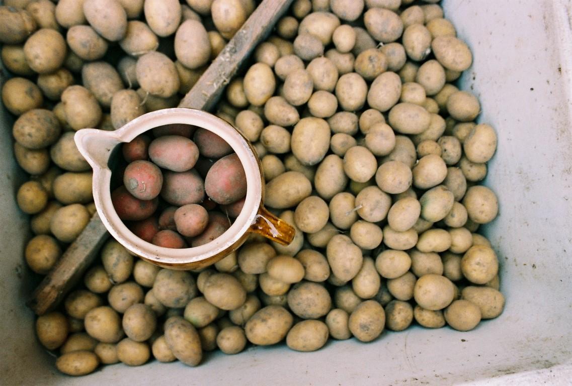 Kartoffeln Ernte