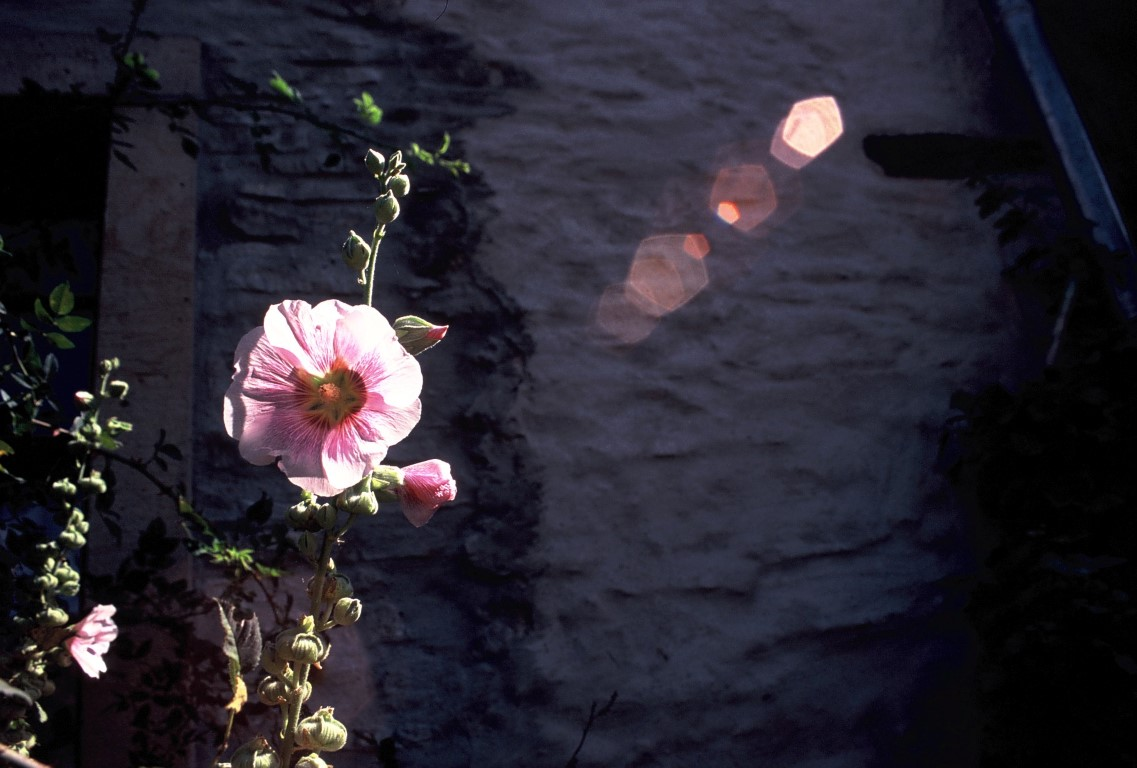 stockrose-rosa