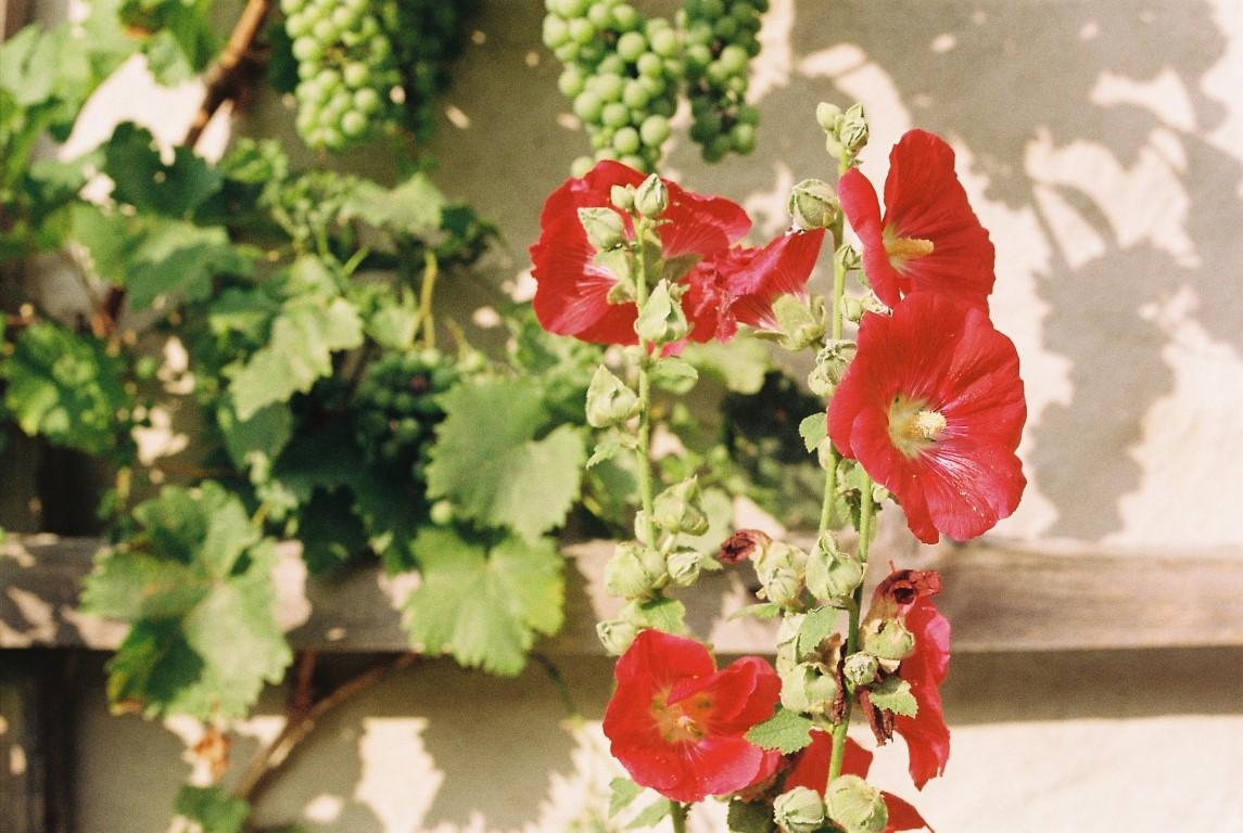 stockrose-rot