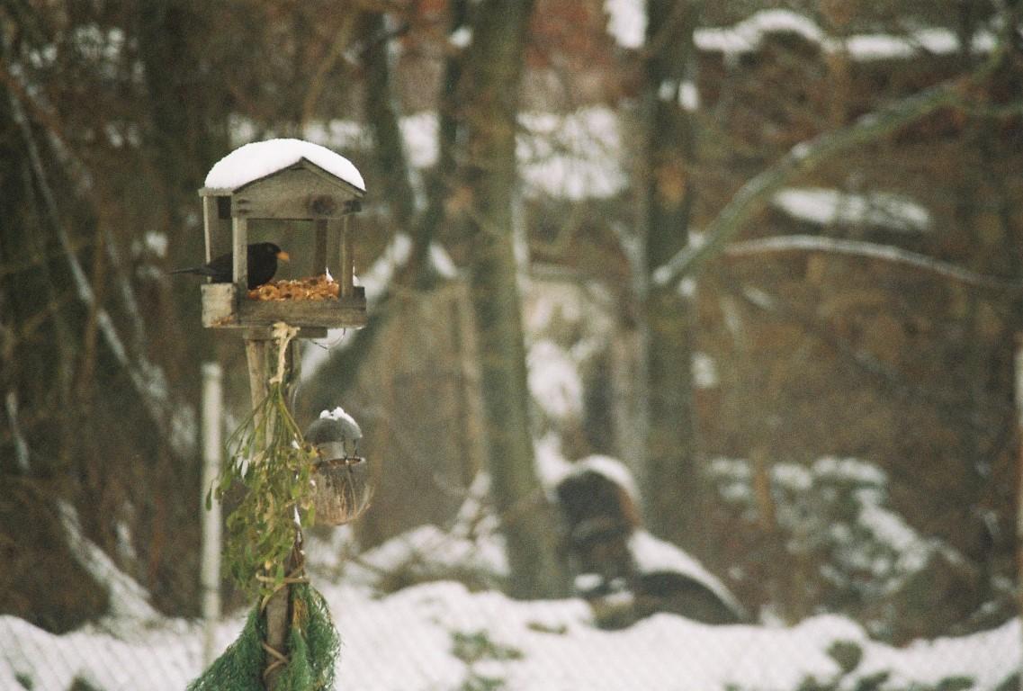amsel-im-vogehaus-winter