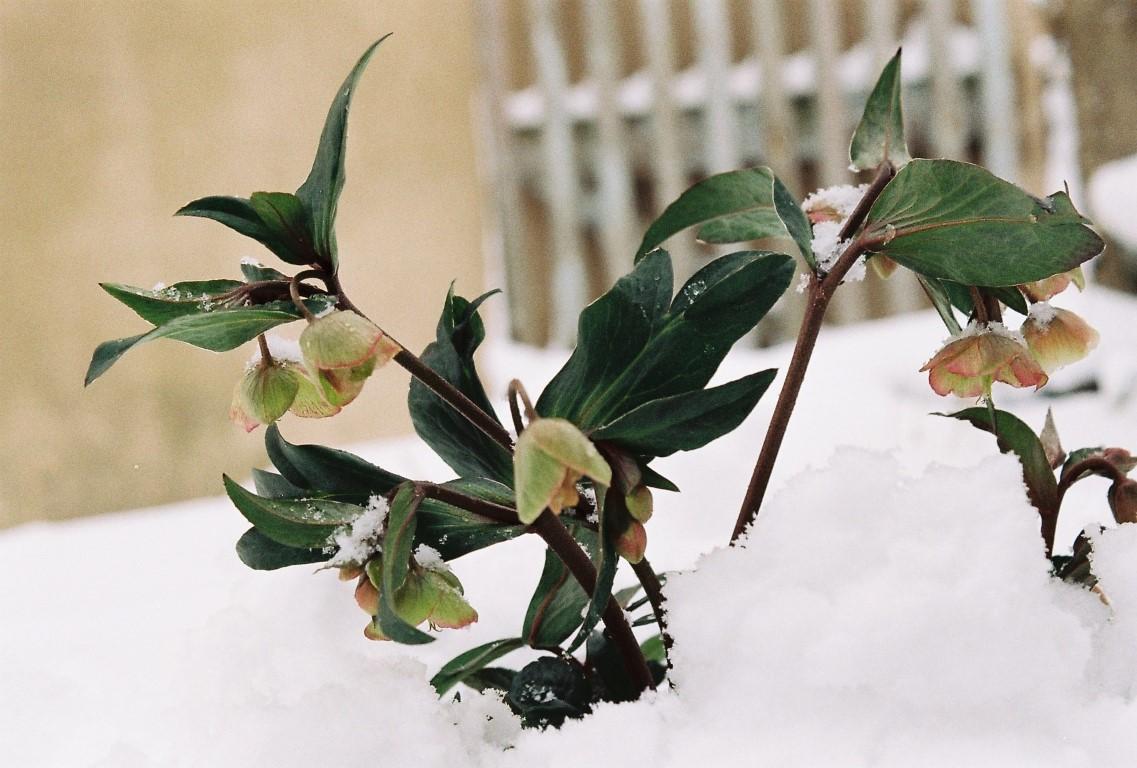 christrose-winter