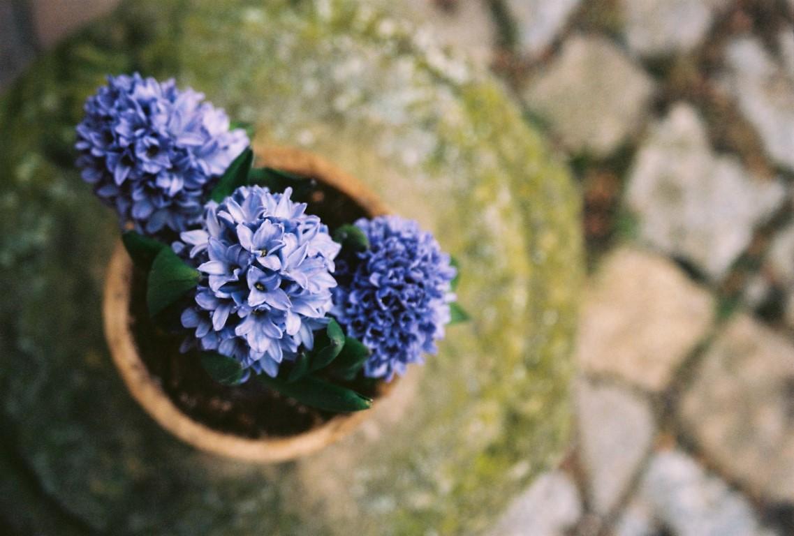 7 blaue Hyazinthen Kodak Ektar