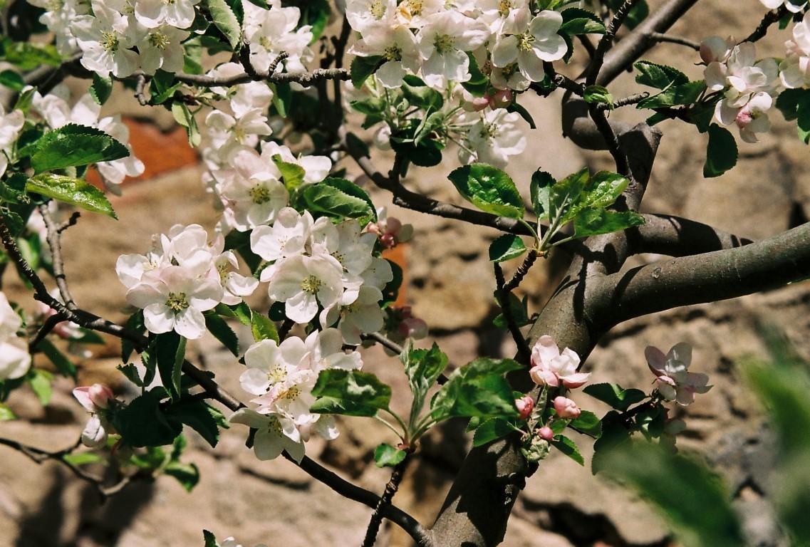 26 Apfelblueten wilder Apfelbaum