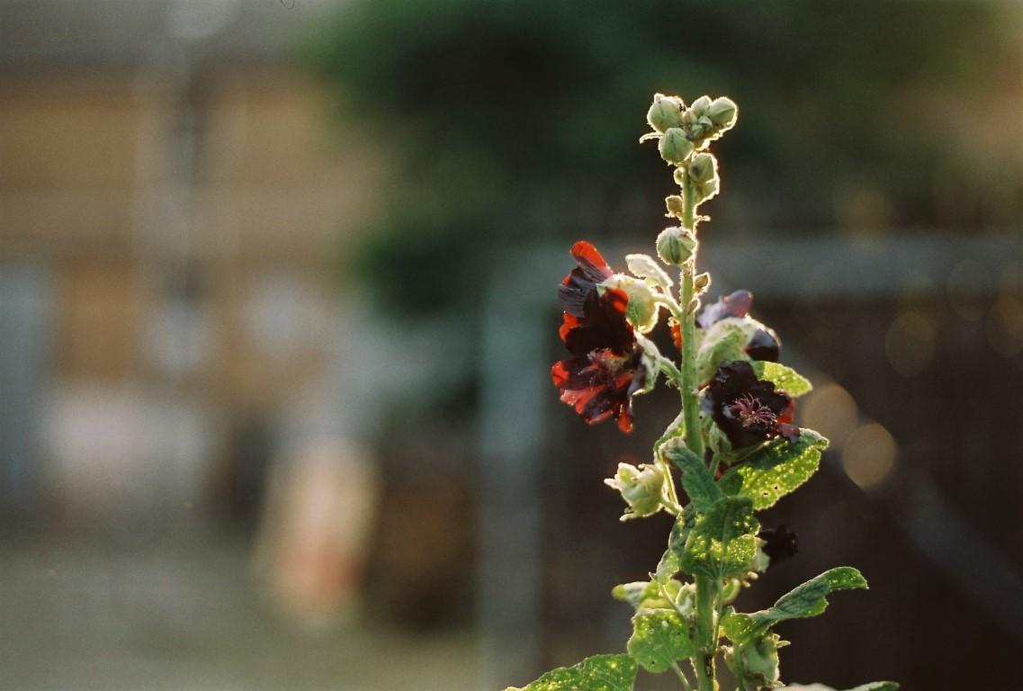 Sommer Stockrose