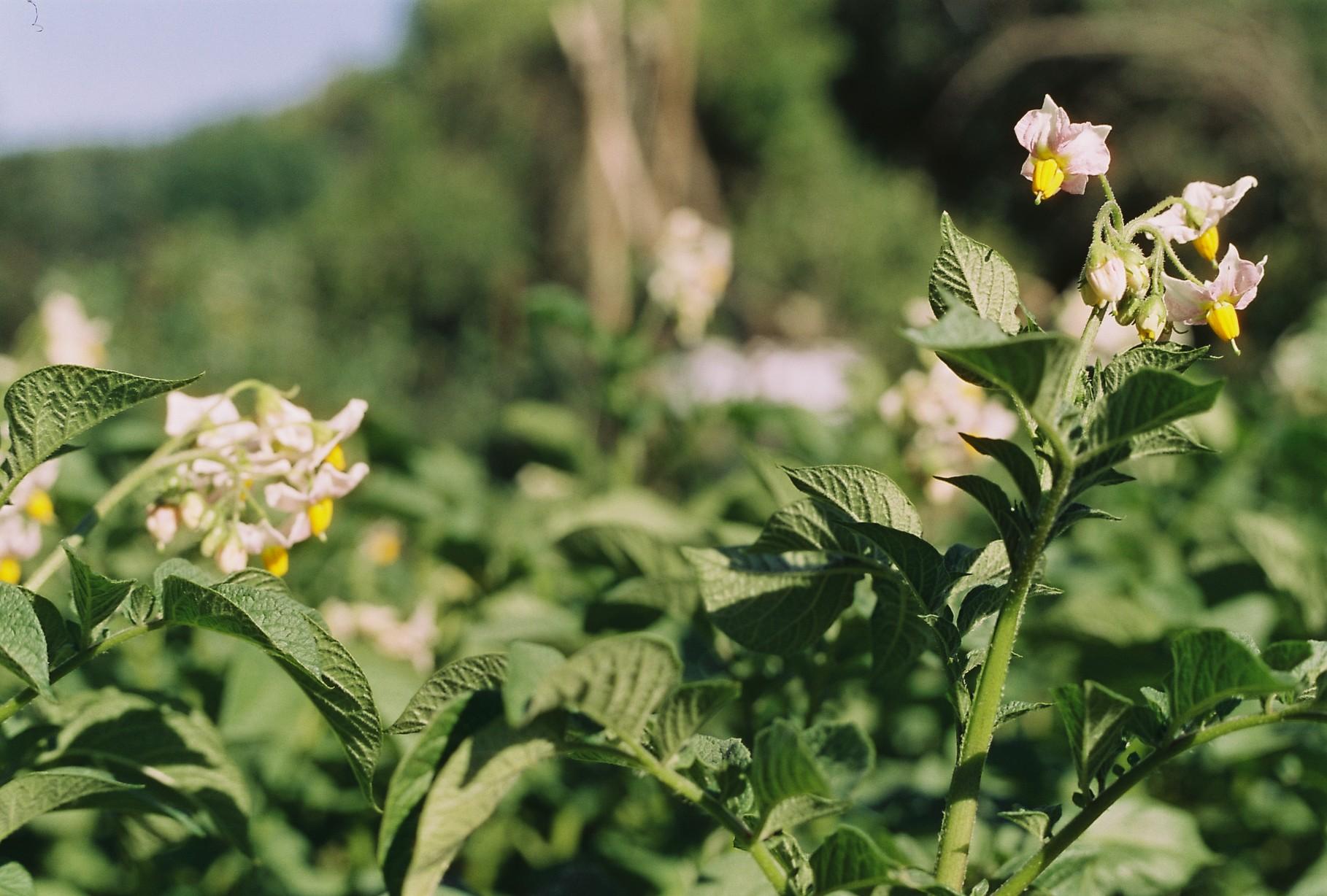 Garten Sommer Kartoffel Blüte