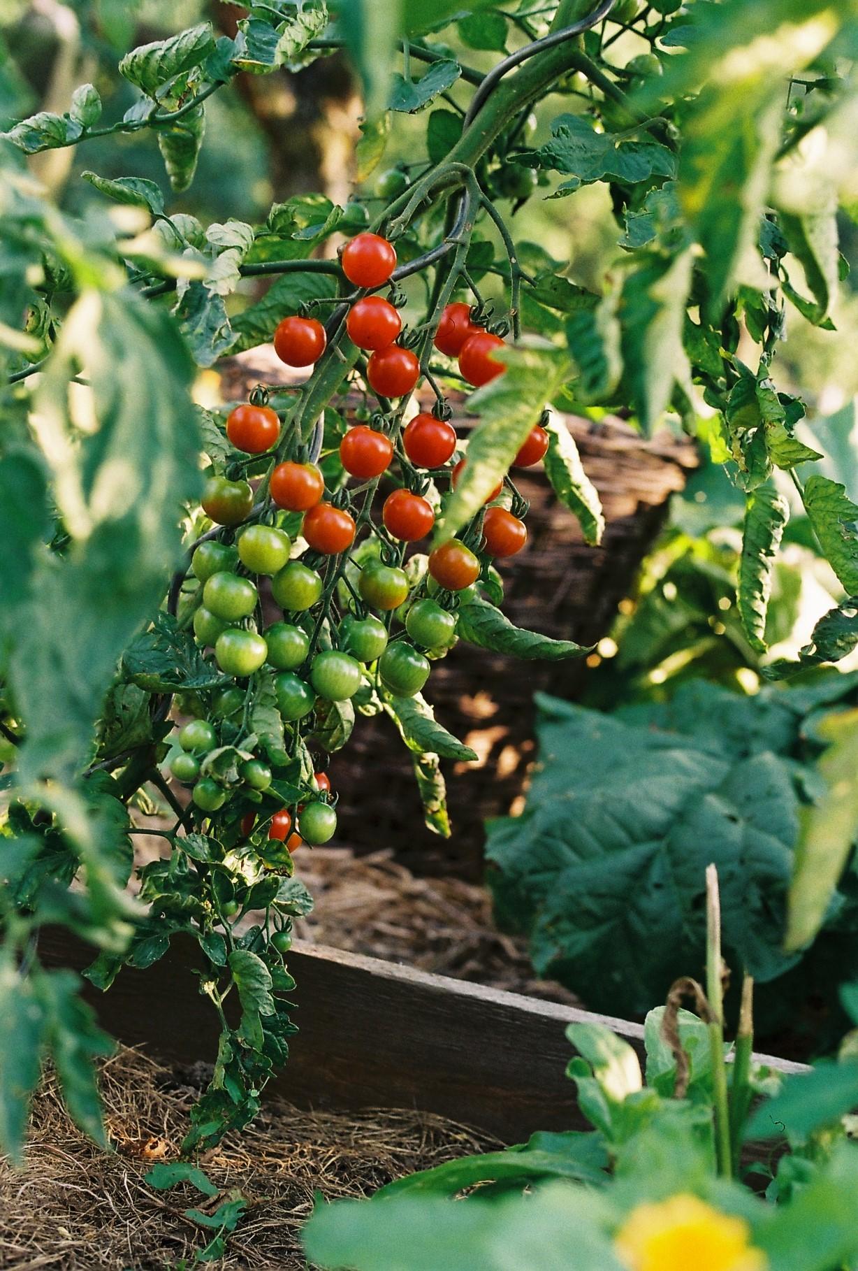 Tomaten Garten Sommer