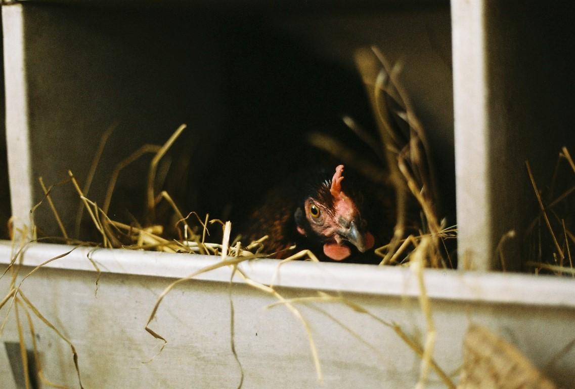 Glucke im Nest