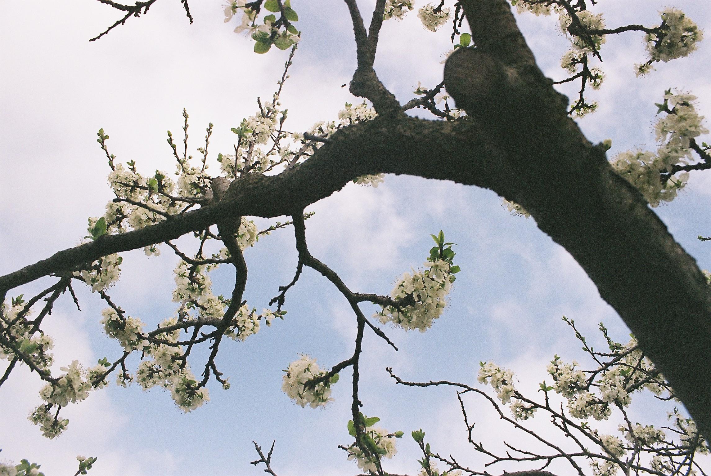 Kirschbluete Garten.JPG