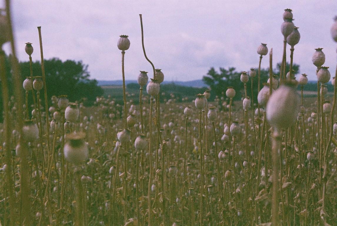 Mohnfeld Poppy field 1