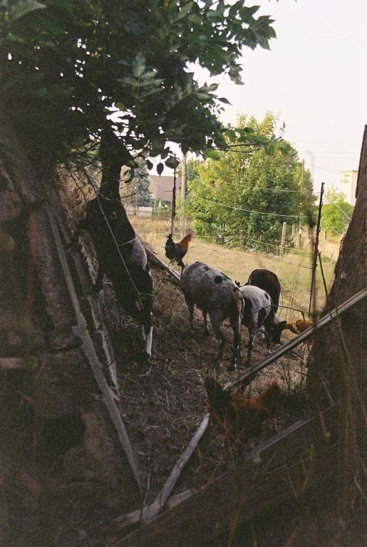 2019 Schafe nach der Schur (Medium)