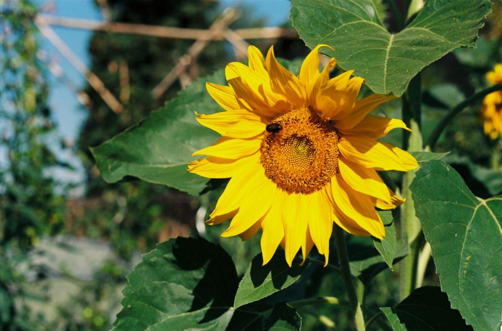 Sonnenblume, Sommer