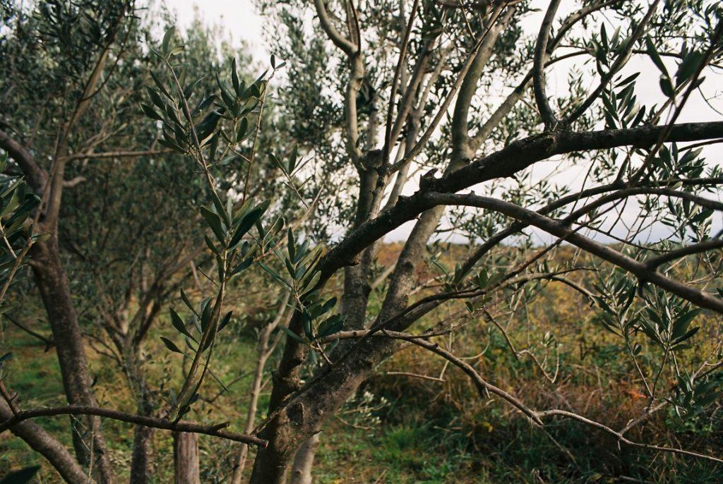 Olivenbaum Herbst
