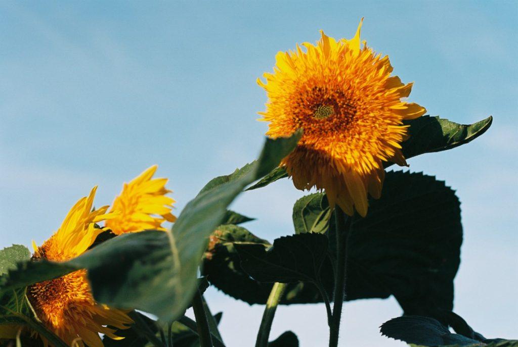 Blueten Sonnenblume